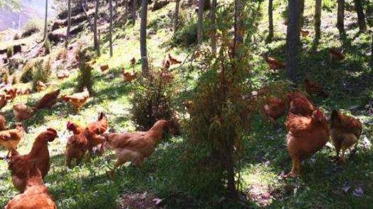 鸡肉价格三年来首次出现大跌,9月份较年初下降14%