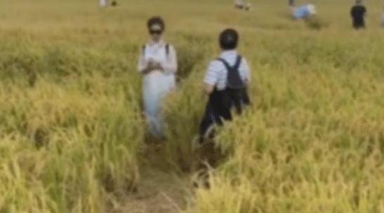 大理网红稻田被游客踩出坑,人数众多工作人员拦不住