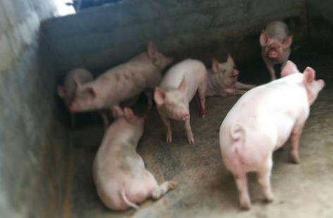 重庆排查出非洲猪瘟,有关所有猪仔已经被处理