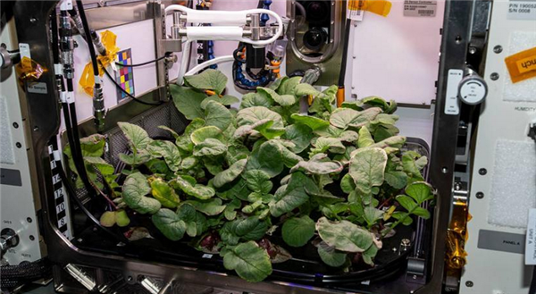 NASA收获太空萝卜,将于明年被送回地球进行研究