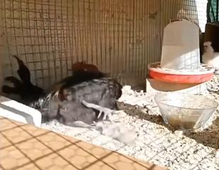 公鸡打鸣打到缺氧,喘不过气当场晕倒