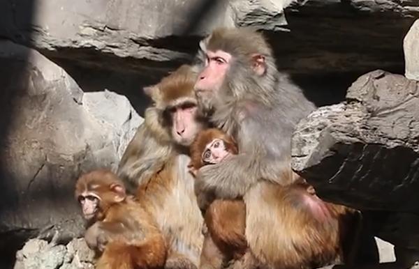 零下17度!北京动物园猴子抱成团取暖