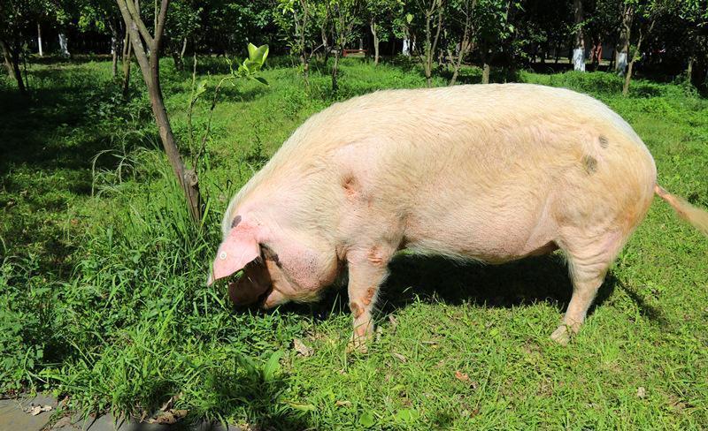汶川地震猪坚强中午吃了十斤特制饭, 兽医说它已到弥留之际