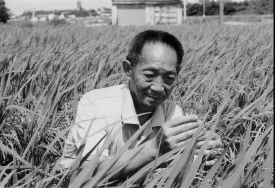 """""""杂交水稻之父""""袁隆平逝世,世界上第一个成功地利用水稻杂交优势的科学家"""