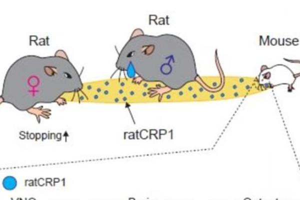研究发现普通大鼠的求爱气味会被小鼠认为