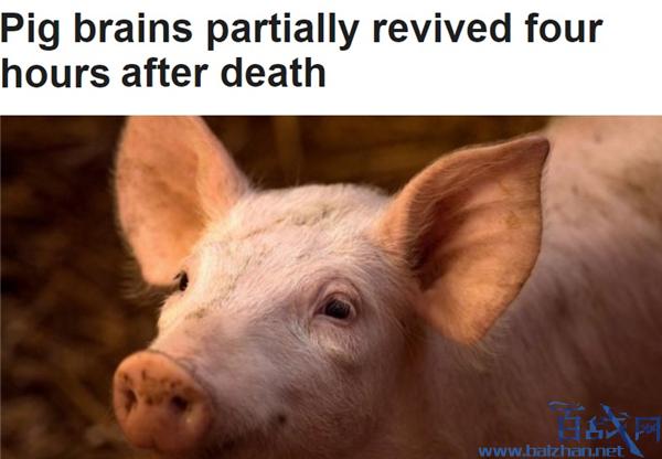 科学家复活死亡猪脑