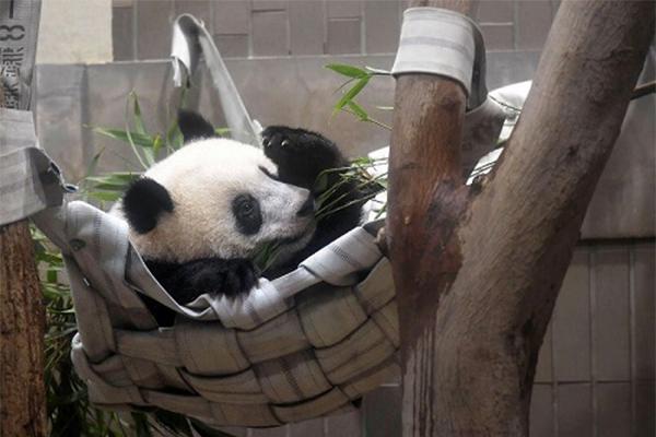 熊猫香香东京过周岁