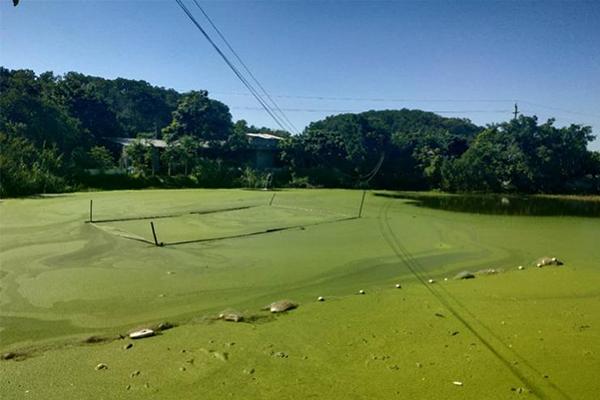 养猪场将污水排河中,凤凰河,养猪场,养猪场污水