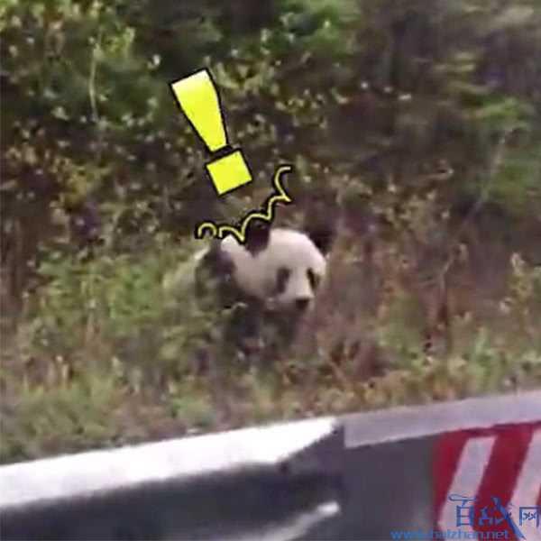 上班途中偶遇大熊猫,上班偶遇大熊猫