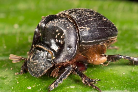 圣甲虫,圣甲虫是什么
