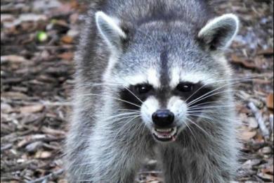 美国出现绿眼僵尸浣熊是真的吗?真相是什么?