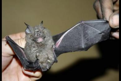 非洲蝙蝠体内有7种新冠病毒!将有可能引起另一场大流行