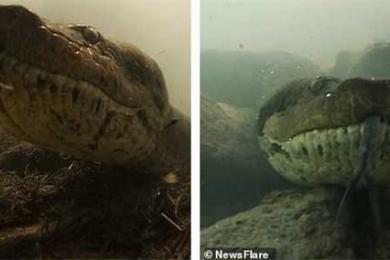 潜水员水下遇7米巨蟒,摄像机与蛇信零距离接触
