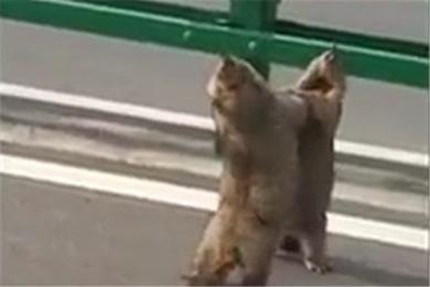 你们不要再打了!青海省两只土拨鼠公路互殴 上演自由搏击2公斤级比赛