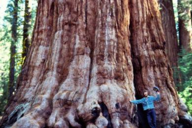 世界上最大的树有多大过高呢?