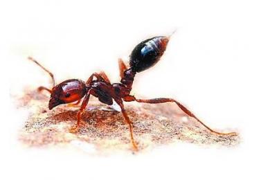 东京现剧毒红火蚁,咬伤人类有致死危险